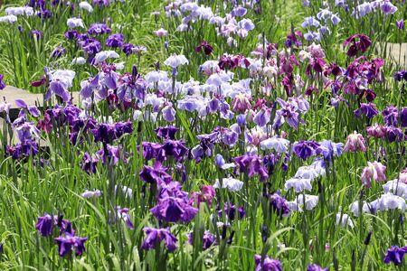 Japanese iris Stok Fotoğraf