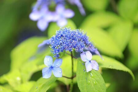 Hydrangea (one bluish purple)