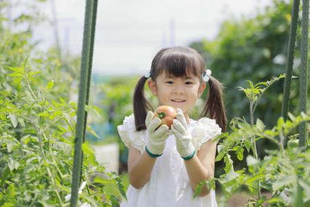 Japanese girl picking tomato (5 years old) Stok Fotoğraf