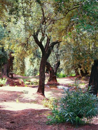 beautiful olive grove in exotic Morocco, Africa