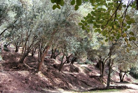 a beautiful olive grove in the hills of Morocco, Africa