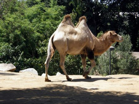 african camel animal in San Diego zoo