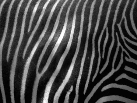 wild zebra skin texture and pattern  Stock Photo
