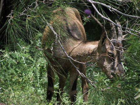 wild goat: cabra salvaje en el paisaje de monta�a en Grecia