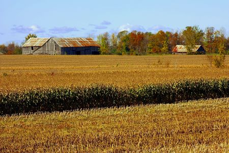 old barn on corn farmland in the fall season Stockfoto