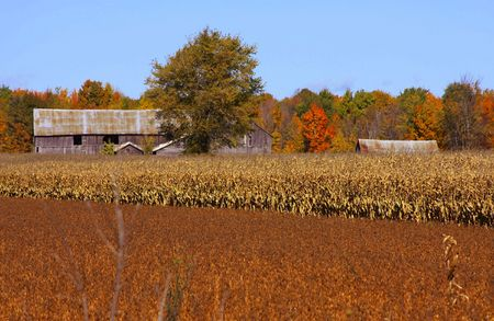 autumn colour: pld barm in corn field in the fall season