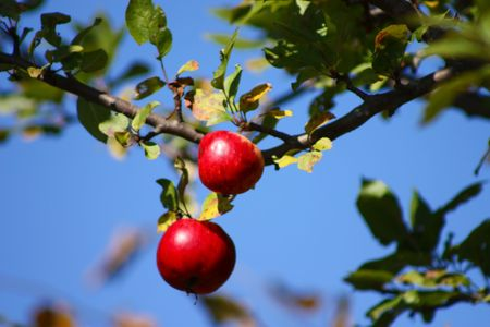 red apples in tree branch with blue sky as a background