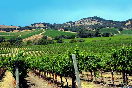vineyard in summer season on a sunny day Stock Photo - 5728641