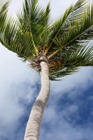 caribbeans: closeup on a palm tree over sky and clouds background