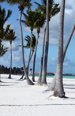 caribbeans: row of palm tree on perfect white sand beach