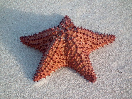 caribbeans: star fish on white sand beach
