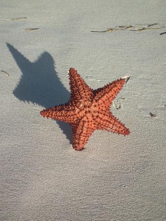 caribbeans: star fish on white sand beach