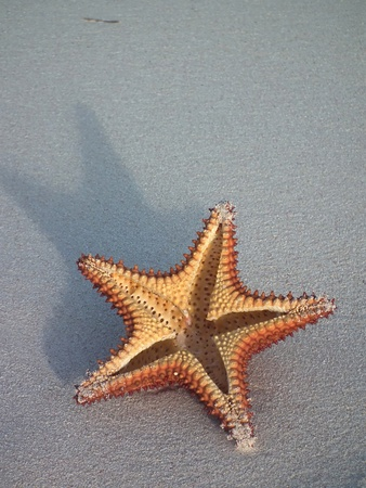 caribbeans: star fish cut in half on beach