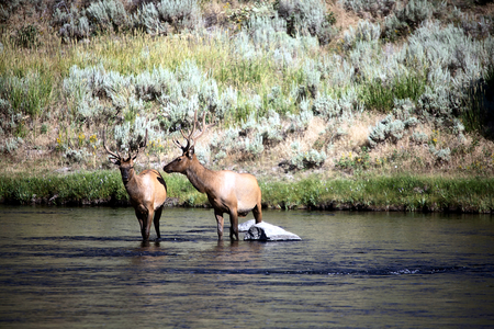 Elks in river