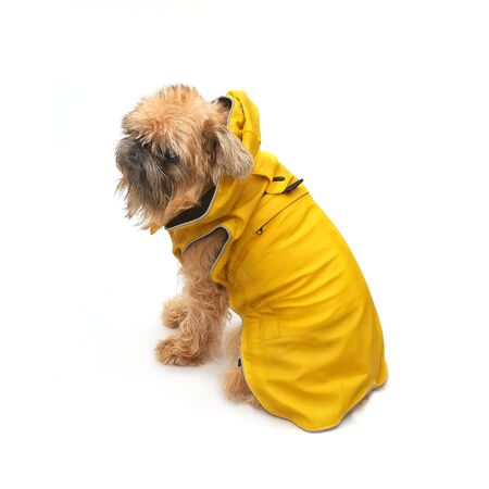 Brussels Griffon in yellow raincoat on a white background