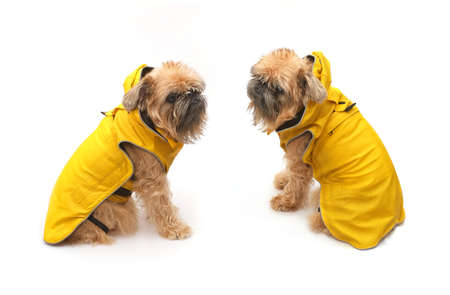 Brussels Griffon in yellow raincoat isolated on a white background Stockfoto