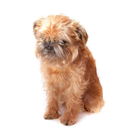 Brussels griffon in different angles isolated on white background