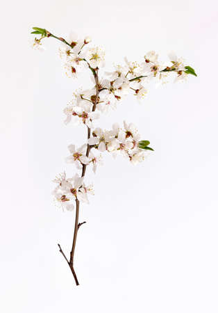 Blooming cherry tree branch isolated on white background