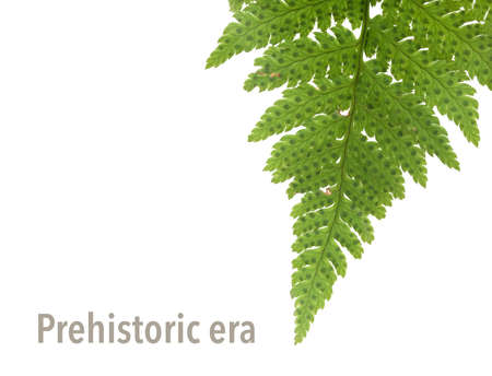 Green fern branch isolated on white background (Copcent) 版權商用圖片