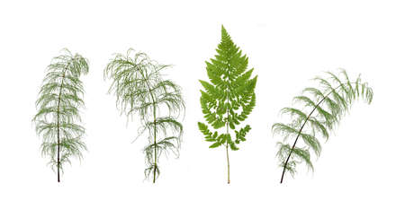 Green fern branch and horsetail branch isolated on white background 版權商用圖片