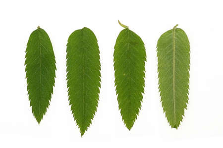 Rowan leaves isolated on a white background