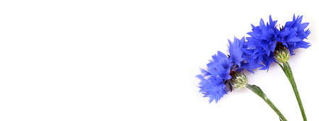 Field blue cornflowers isolated on white background