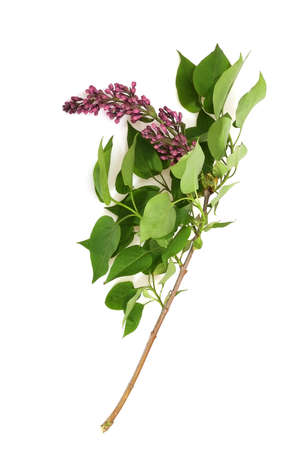 Lilac flowering branch with green leaves isolated on white background