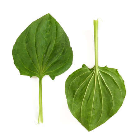 Leaves of plantain isolated on a white background 免版税图像