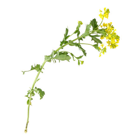 Blossoming yellow bittercress isolated on white background