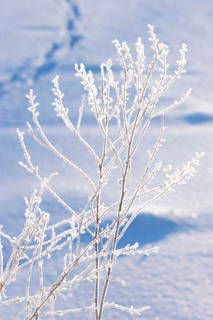 Winter landscape with footprints in the snow and a frozen plant