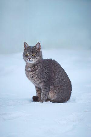 Grey cat walks on white snow in winter