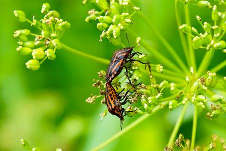 Italian striped bug Graphosoma lineatum italicum mating Stock fotó