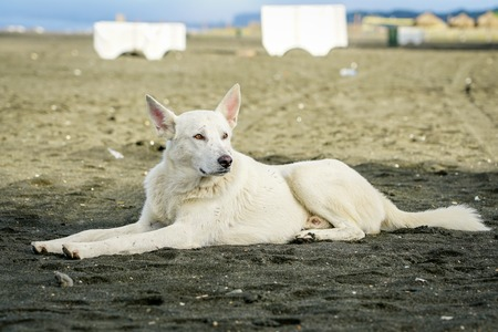 homeless white dog lays in the sand on the beach Stock Photo