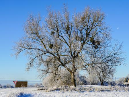 europen mistletoe in winter, attached to their host maple tree Foto de archivo