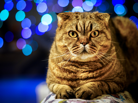 beautiful brown stripped scottish fold cat against a colorful blurred background