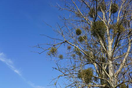 europen mistletoe or viscum album in winter, attached to their host maple tree