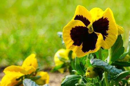 closeup image of a yellow pansy flower Viola wittrockiana in a garden 写真素材