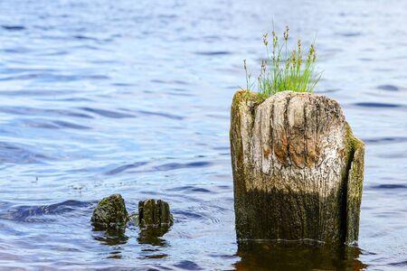 green grass grows on a old rotten wooden port pier