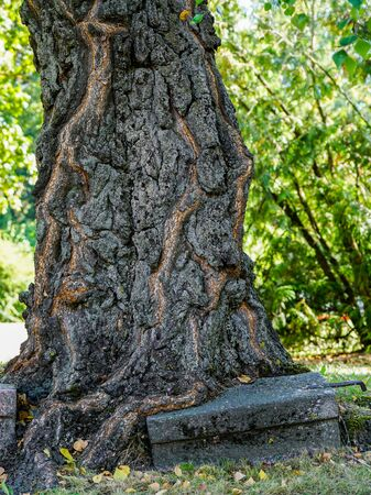 tree trunks growth around the granite block Stock Photo