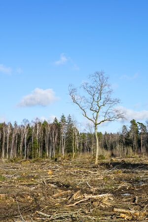 forest clearing, leaving one tree left on a blue sky background Stock Photo