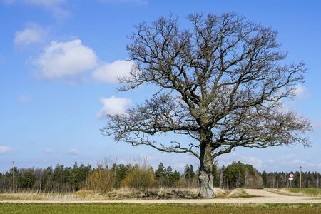 a large old oak without leaves on a background of blue sky with white clouds