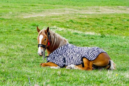 beautiful brown horse covered with a blanket in a green meadow Banque d'images