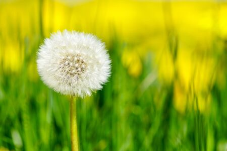 Dandelion seed head or blow ball on blurred green grass background