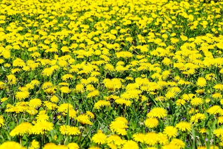 Field with many yellow flowering dandelions on blurred background Stock Photo