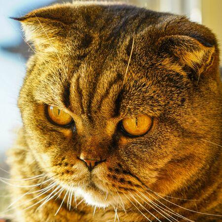 closeup portrait of a beautiful serious adult scottish fold cat