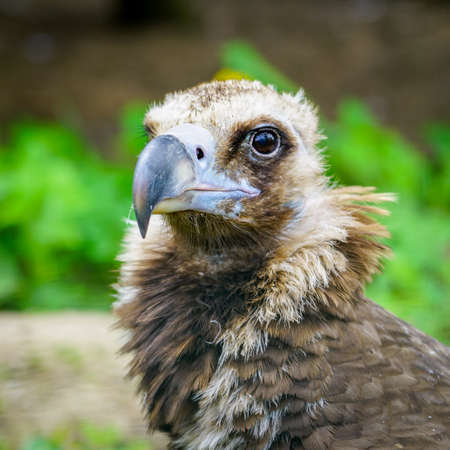 closeup portrait of a cinereous vulture, Aegypius monachus, or black Eurasian vulture, that is a large raptorial bird