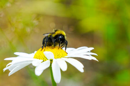 big bumble bee sucks flower nectar from daisies 写真素材