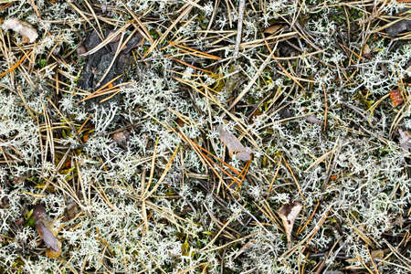 natural cover of moss and fallen pine needles in the wild forest
