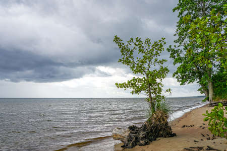 a living green tree with washed roots on the shore of the Baltic Sea