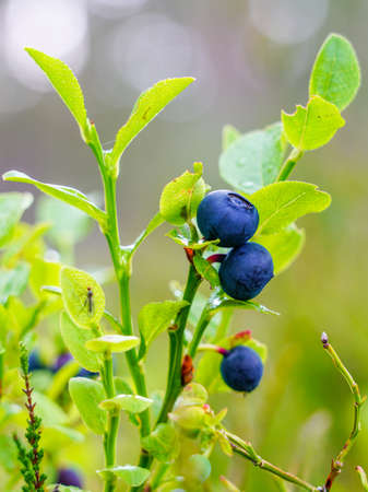 ripe wild blueberries on the bush in the forest on a blurred background